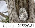 エゾフクロウ 21559381