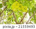 ゴールデンシャワー ナンバンサイカチ ラーチャプルックの写真 21559493