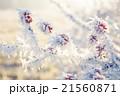 霜 樹木 樹の写真 21560871