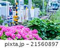 アジサイ あじさい 紫陽花 梅雨 初夏の花 植物 紫陽花の画像素材 写真素材 コピースペース 21560897