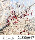 Hoarfrost on leaves 21560947