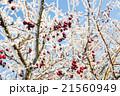 霜 クローズアップ 樹木の写真 21560949