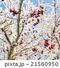 Hoarfrost on leaves 21560950