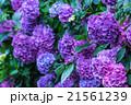 アジサイ あじさい 紫色 紫陽花 梅雨 初夏の花 植物 紫陽花の画像素材 写真素材 コピースペース 21561239