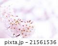 サクラ 桜 さくら 染井吉野 ソメイヨシノ そめいよしの コピースペース 文字スペース 21561536