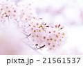サクラ 桜 さくら 染井吉野 ソメイヨシノ そめいよしの コピースペース 文字スペース 21561537