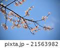 青空と桜 21563982