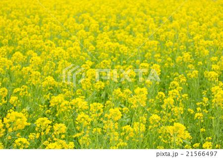 菜の花, 一面に咲いた黄色の花 21566497