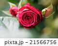 薔薇の花 21566756