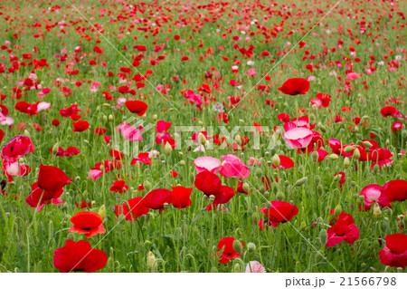 シャーレーポピー, 赤いポピーの花 21566798
