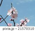 咲き始めた薄桃色のウメの花 21570310