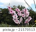 大木になるアーモンドの苗木の桃色の花 21570513
