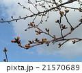 習志野市のサクラ広場のソメイヨシノの蕾 21570689