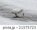 白鳥 21575723