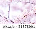 サクラ 桜 さくら 染井吉野 ソメイヨシノ そめいよしの コピースペース 文字スペース 21578901