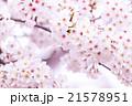 サクラ 桜 さくら 染井吉野 ソメイヨシノ そめいよしの コピースペース 文字スペース 21578951