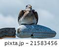 鳥 カッショクペリカン ぺりかんの写真 21583456