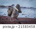 鳥 カッショクペリカン ぺりかんの写真 21583458