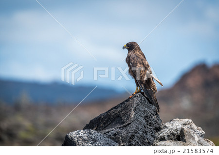 galapagos hawk perched on rocks in sunshineの写真素材 21583574 pixta
