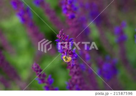 ラベンダーとミツバチ 21587596