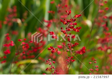 ヒューケラ, 赤い花 21587997