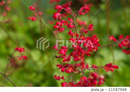 ツボサンゴ, 赤い花 21587998
