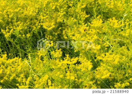 小さな黄色の花、メキシコ万年草 21588940