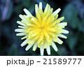 タンポポ キク科 花の写真 21589777