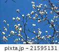 もう直ぐ咲くハクモクレンの大きい白い花 21595131