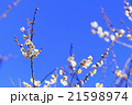 曽我梅林の梅 21598974