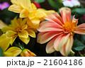 ピンクと黄色のダリア 21604186