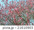 青空に綺麗な桃色の花はハナモモの花 21610903