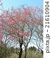 青空に綺麗な桃色の花はハナモモの花 21610904