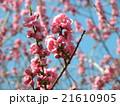 青空に綺麗な桃色の花はハナモモの花 21610905