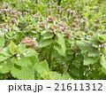 春に紫色の花を咲かす野草ヒメオドリコソウの花 21611312
