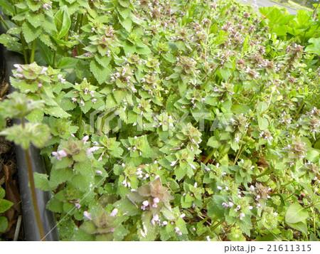 春に紫色の花を咲かす野草ヒメオドリコソウの花 21611315