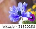 アネモネ 花 植物の写真 21620258