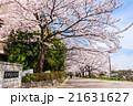 首都大学東京 正門前の桜 21631627