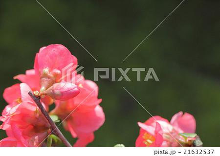 国華・ボケの花の蕾 21632537
