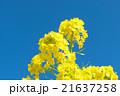 菜の花 花 青空の写真 21637258