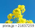 菜の花 花 青空の写真 21637259