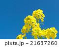 菜の花 花 青空の写真 21637260