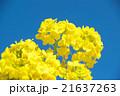 菜の花 花 青空の写真 21637263