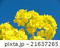 菜の花 花 青空の写真 21637265