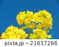 菜の花 花 青空の写真 21637266