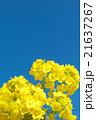 菜の花 花 青空の写真 21637267