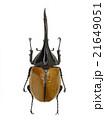 ペルー産ヘラクレオオカブト♂亜種リッキー 21649051