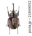 カメルーン産ケンタウルスオオカブト♂ 21649052