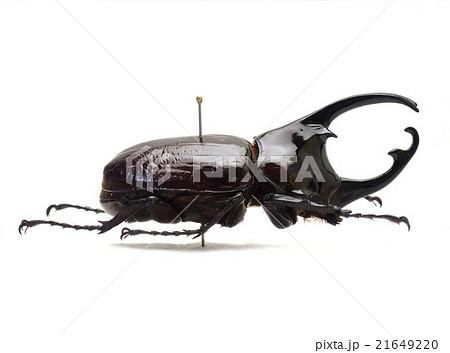 カメルーン産ケンタウルスオオカブト♂ 21649220