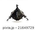 カメルーン産ケンタウルスオオカブト♂ 21649729